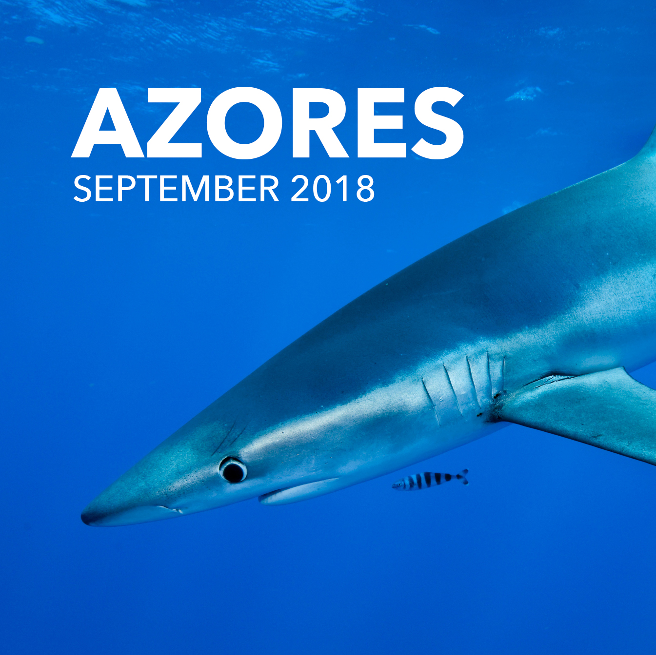 Shark Expedition to the Azores