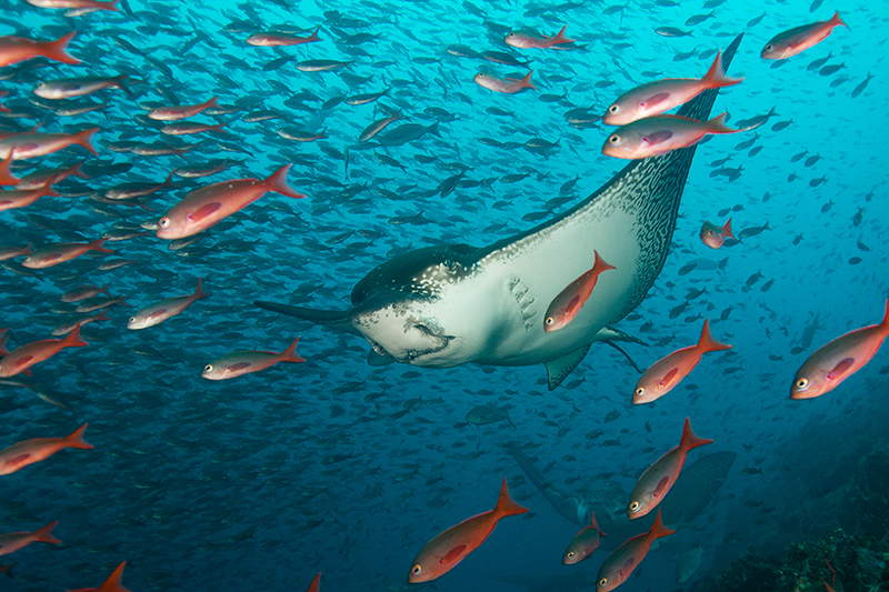 Eagle ray - Galapagos - Exposure Expeditions