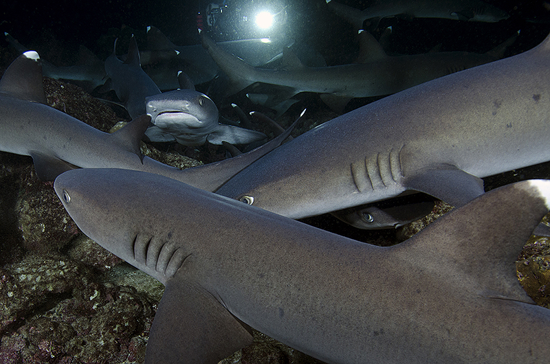 © Magnus Lundgren - World's best night dive - Cocos