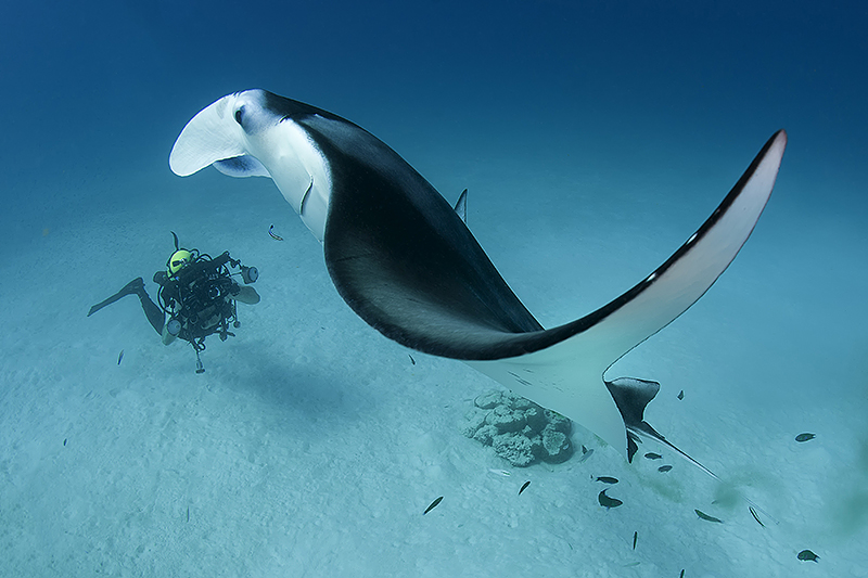 Manta ray in the Maldives - Magnus Lundgren