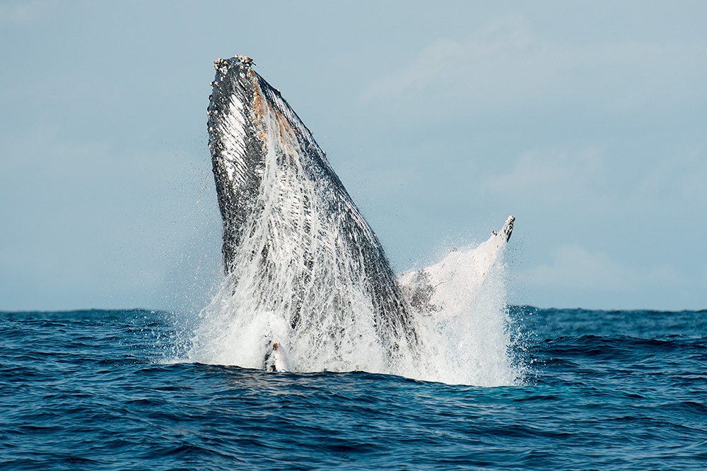 © Magnus Lundgren - Breaching humpback whale, South Africa